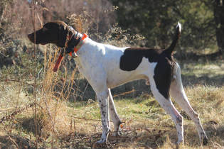 Puppies For Sale - Wolf Plain Brook Farm and Kennel German